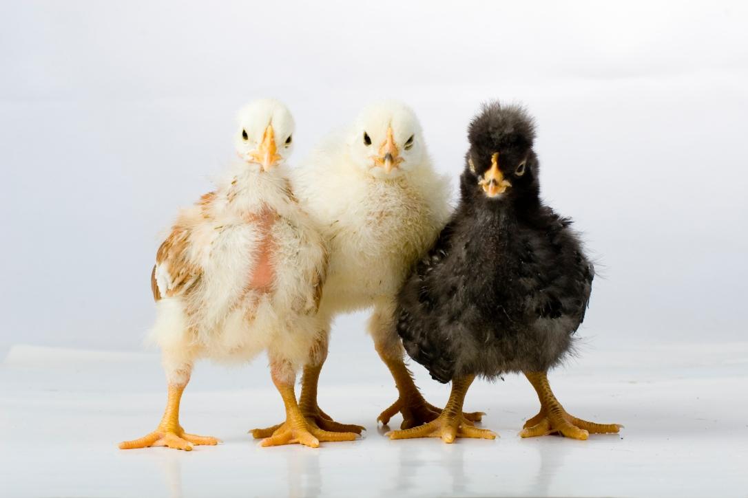 Chickpeas.jpg